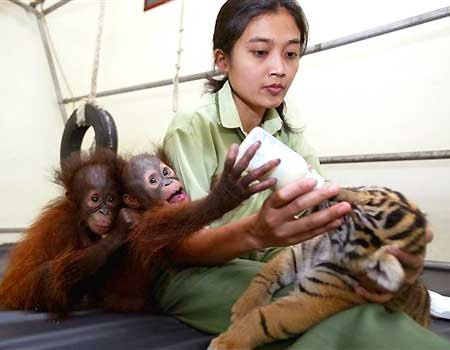 Tiger and Orangutans 5