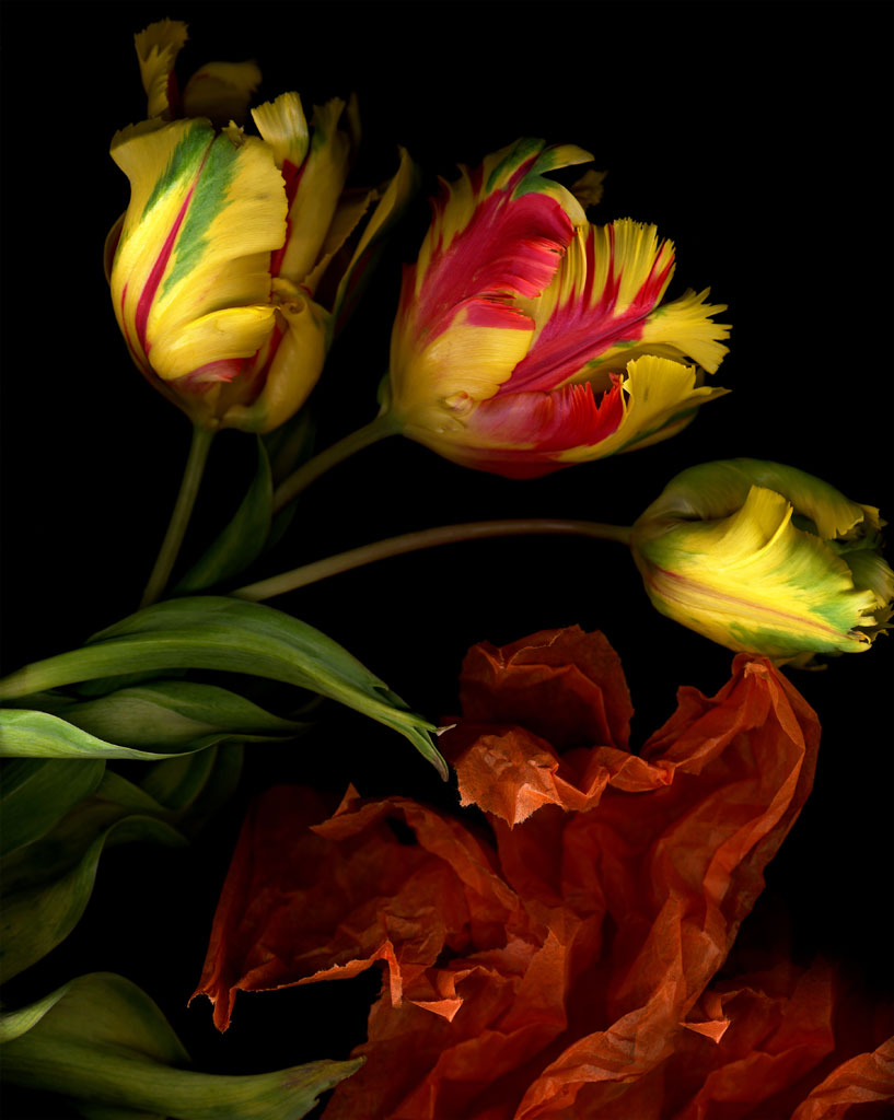 Three Parrott Tulips