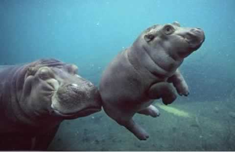 http://lmaclean.ca/wp-content/uploads/2008/12/baby-hippo.jpg