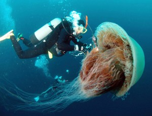 Giant Jellyfish in Japanese waters